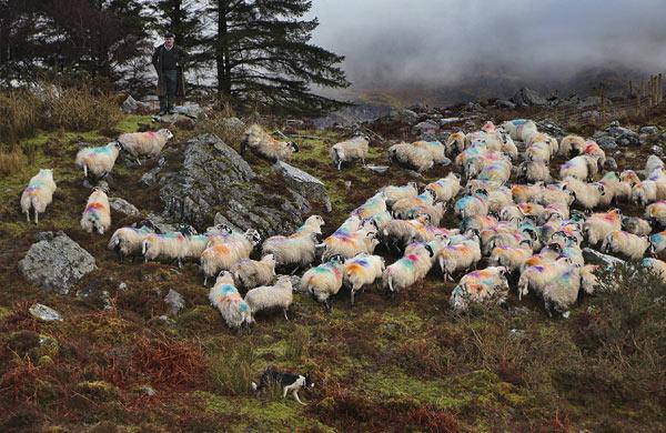 Donal Foley sheep